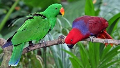 eclectus-parrot-1